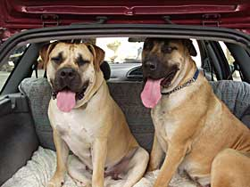 Boerboel Travel